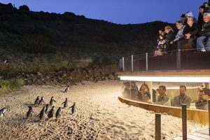 Watching the Penguin Parade at Phillip Island