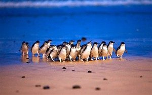 Penguins arriving at the Penguin Parade