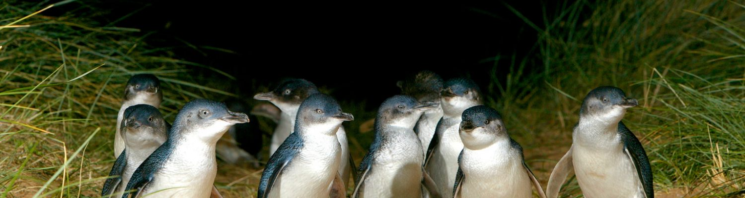 Express Tour to the Phillip Island Penguin Parade