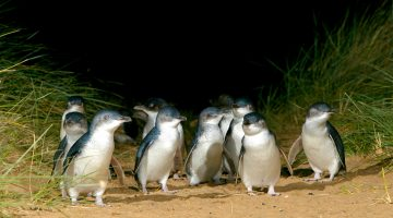 Penguin Island - Penguin Parade