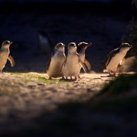 Penguin Parade_11 (full res)_preview