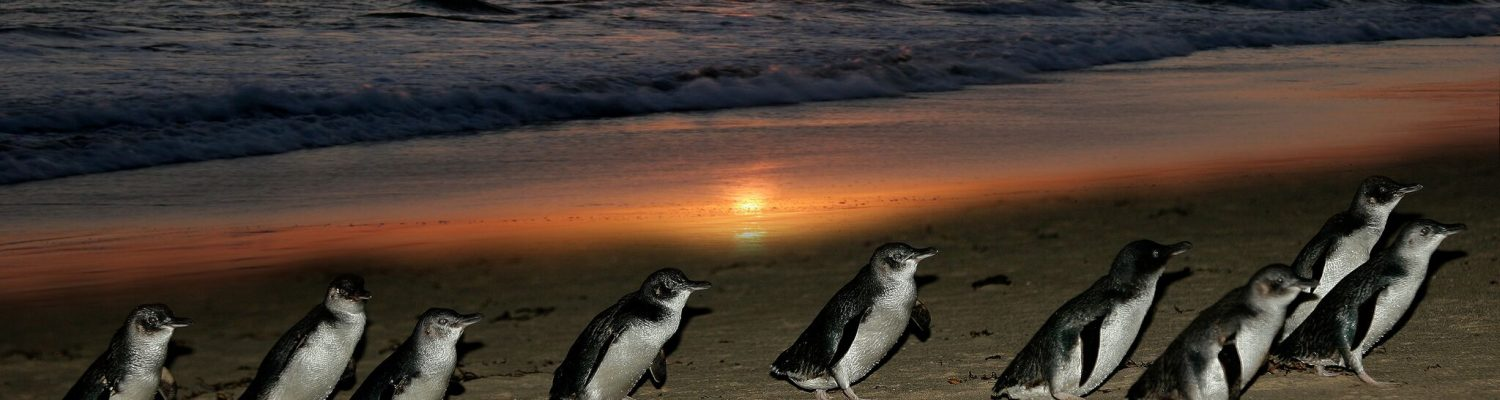 Summer Penguin Action at Phillip Island