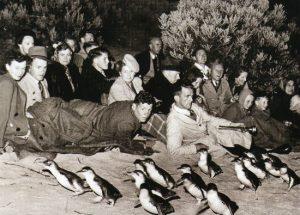 Penguins arriving at Summerlands Peninsula