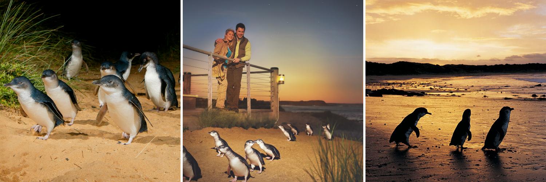Autumn Penguin Action Phillip Island